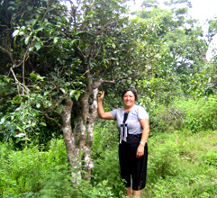 雲南省でしか育たない大葉樹