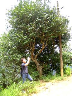 彩香のプーアール茶契約農園