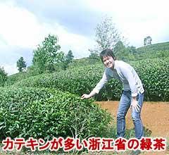 カテキンの多い茶葉を選定